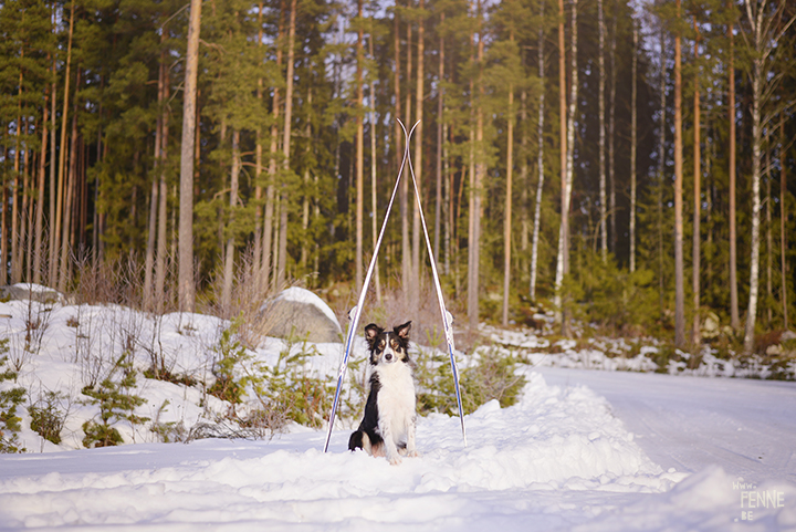 Skiing with dogs |www.Fenne.be
