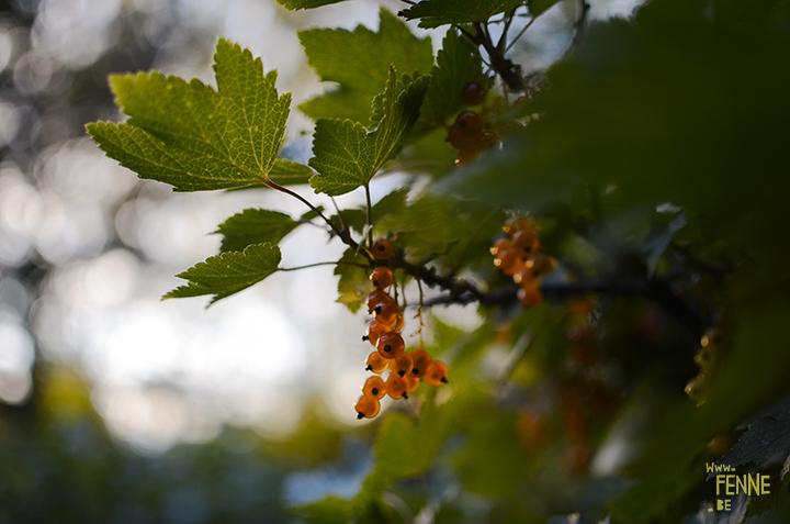 Garden harvest in Sweden (Dalarna). organic fruit and vegetables | www.Fenne.be