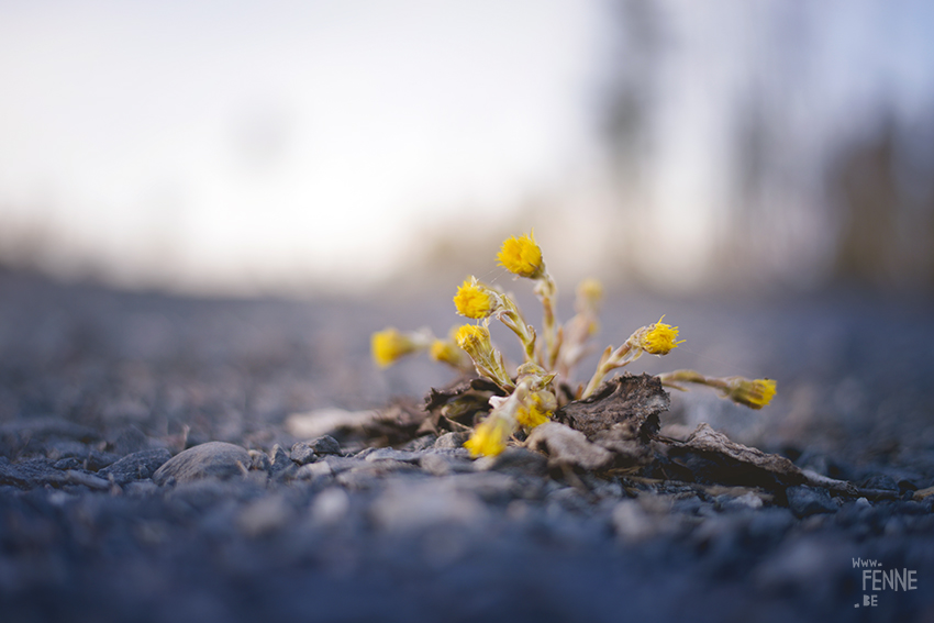 The first flowers of 2018, nature photography, Sweden, www.Fenne.be